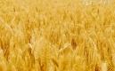 小麦仁的吃法_哪些人不能吃小麦仁