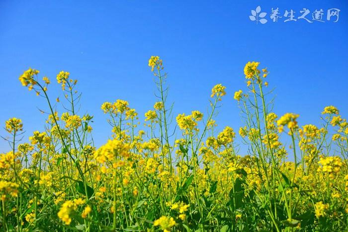 油菜花粉的吃法_哪些人不能吃油菜花粉