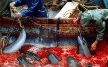 谎言下的杀戮,血腥的捕鲸现场!