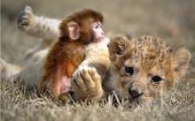狮宝宝和猴宝宝做朋友了