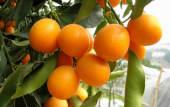 养生食材 — 金桔