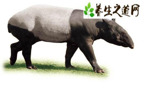 世界上最为稀有的动物之一-貘