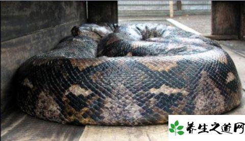 真的吗 四川惊现罕见巨蟒据说有55米