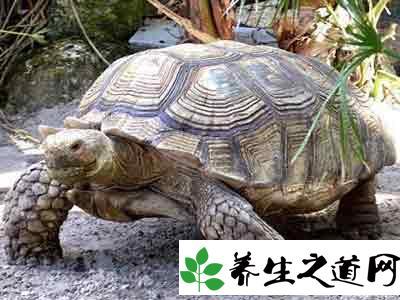 世界上最大的乌龟象龟:最重达375千克寿命1000年左右